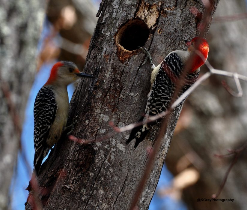 Pair of Red Bellied Woodpecker