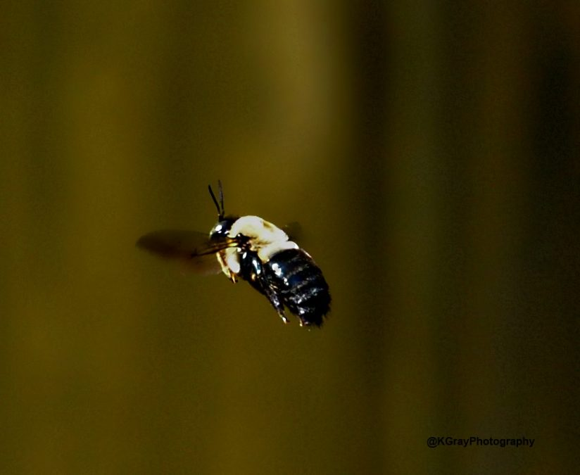 Borer Bee in Flight