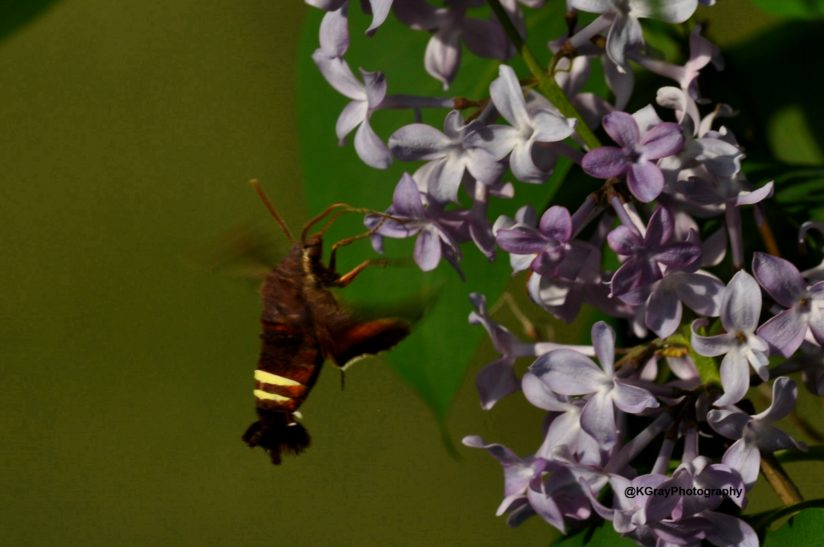 A Hummingbird Moth on Lilac Busht