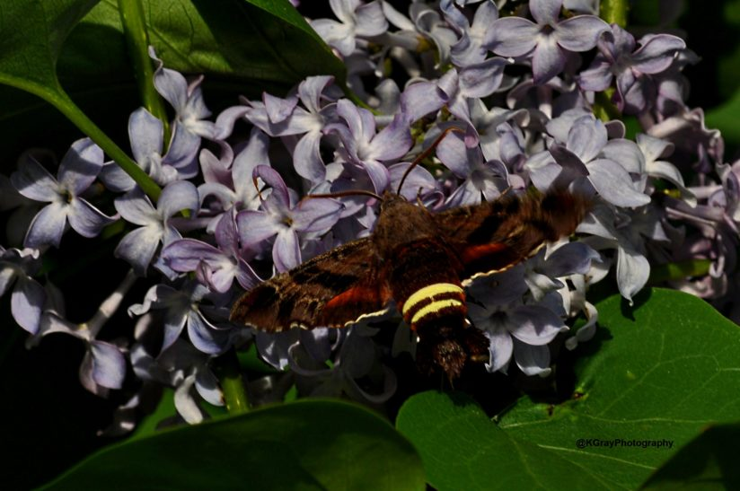 A Hummingbird Moth on Lilac Bush