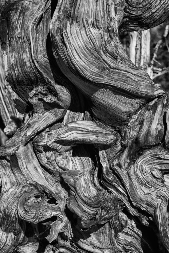 Bristlecone Pine Twists