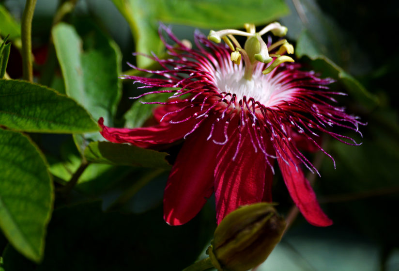 Passiflora Lady Margaret