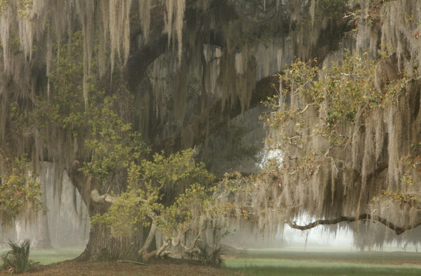 Live Oak in Fog