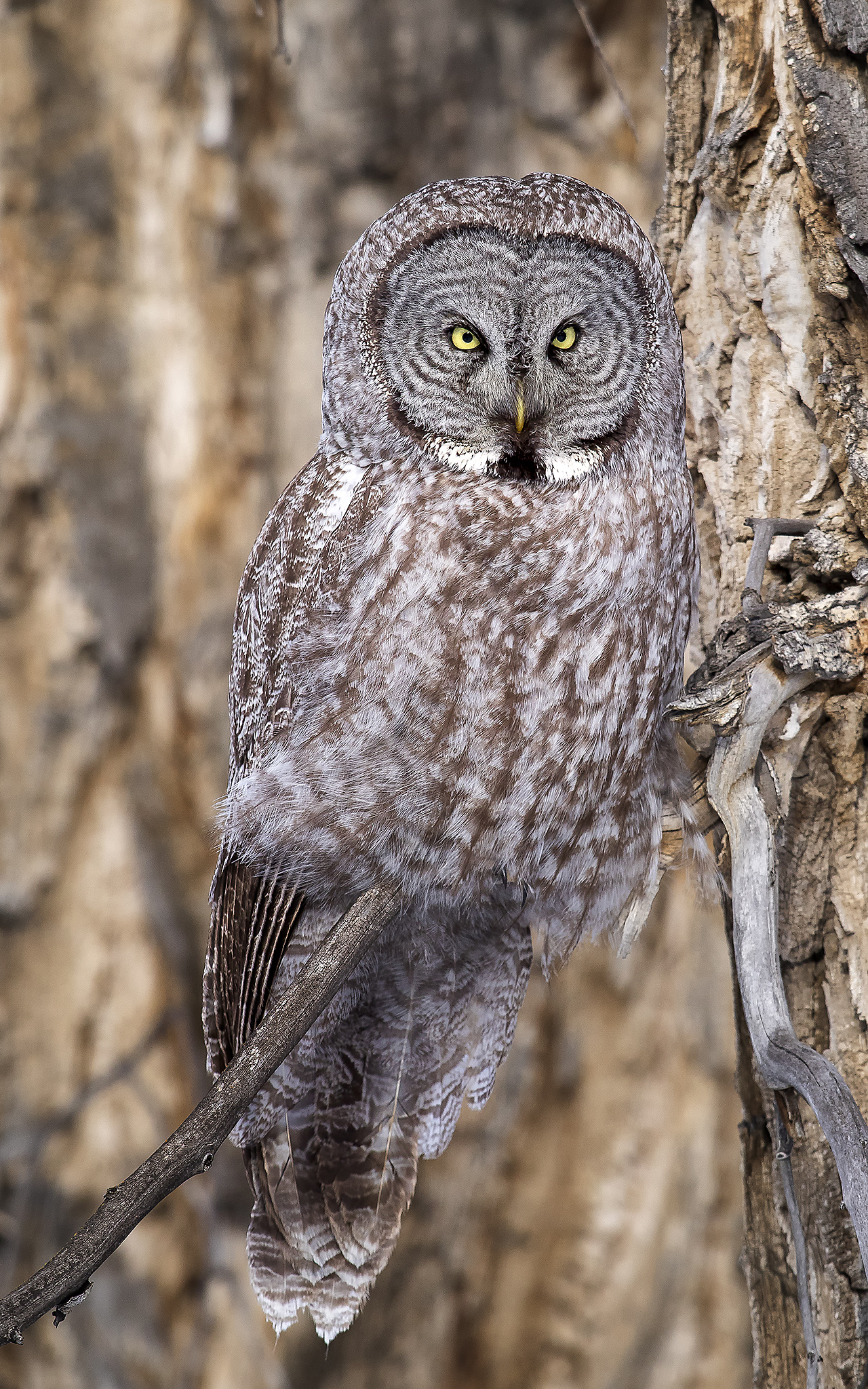 Great Grey Owl in forest cover of cottonwood trees