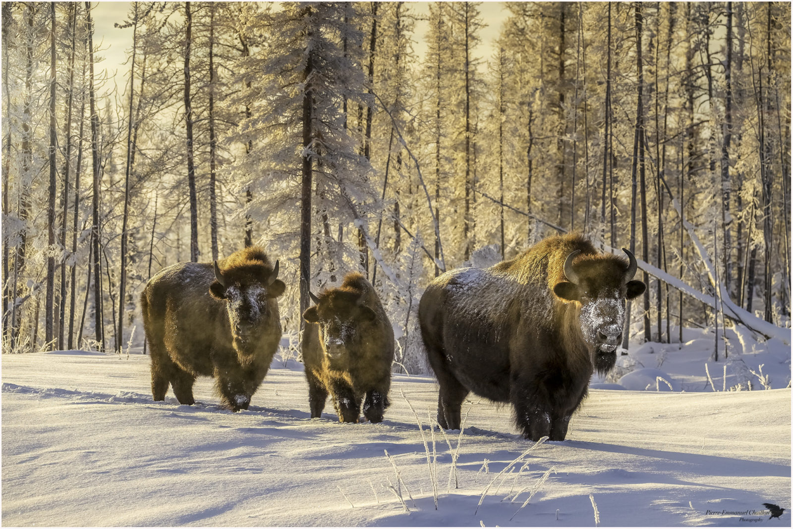 Buffalo on the snow