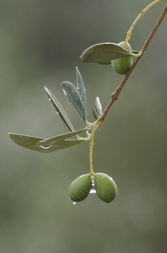 Olives after rainfall