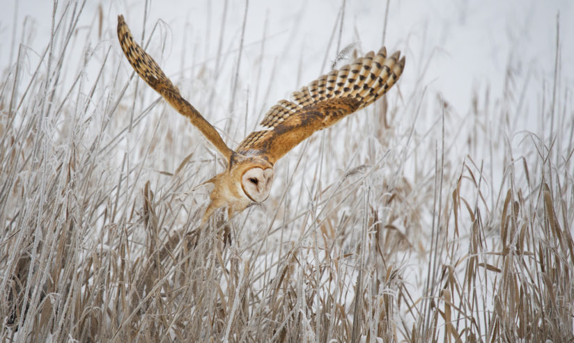 Flight of the Barn Owl