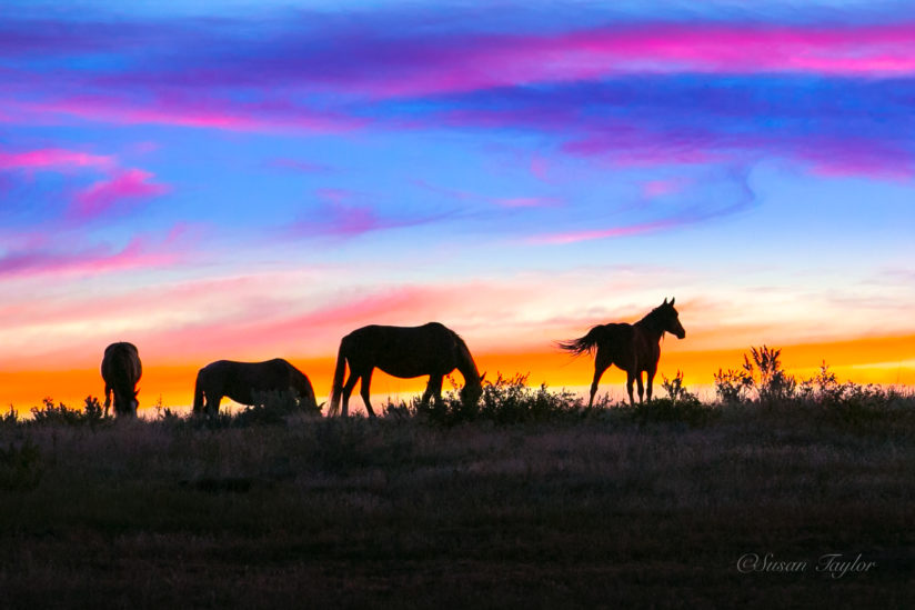 Wild Horses of North Dakota