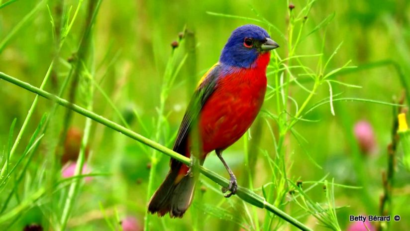 Male Painted Bunting in a Field of Wildflowers