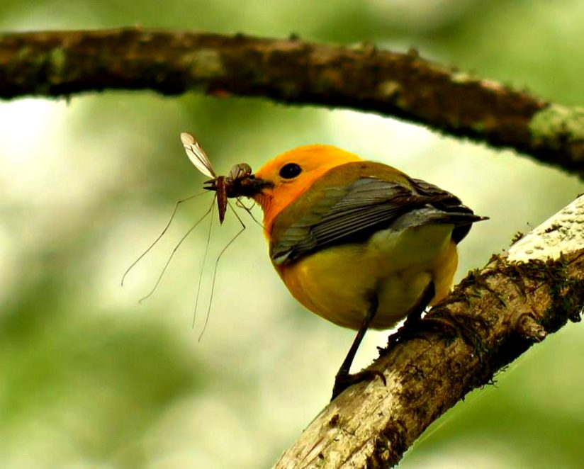 Prothonotary Warbler With a Crane Fly