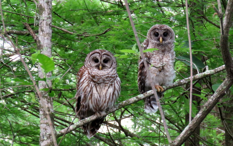 Mom & Baby Barred Owls
