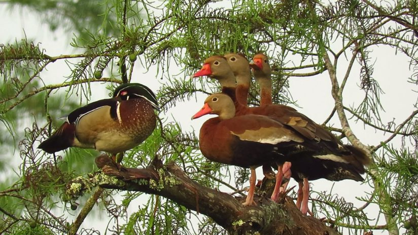 Wood Duck & Black-Bellied Whistling Duck Friends