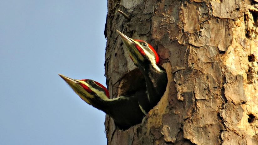 Young Male Pileated Woodpeckers