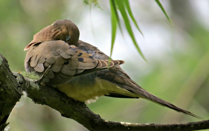 Mourning Dove Resting