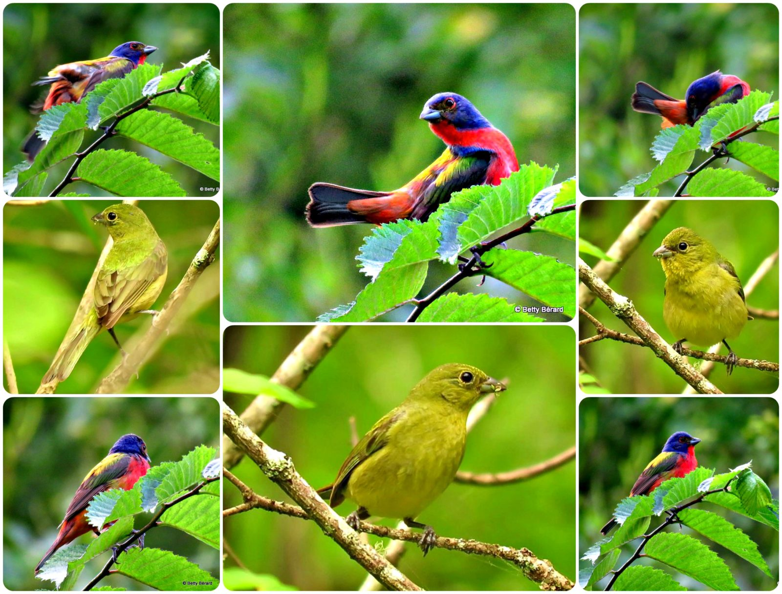 Painted Bunting Collage