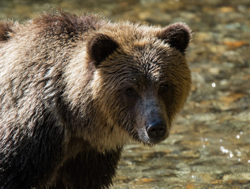Backlit Grizzly