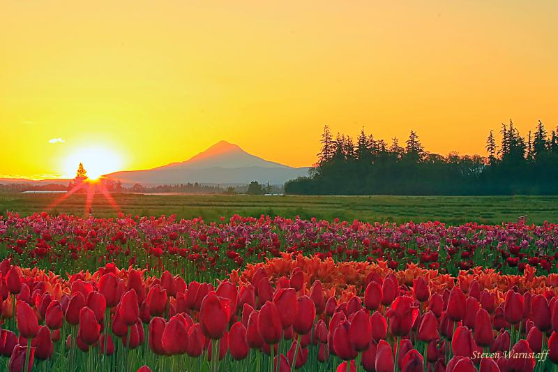 Wooden Shoe Tulip Field Sunrise