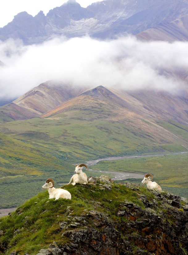 Dall Sheep at rest