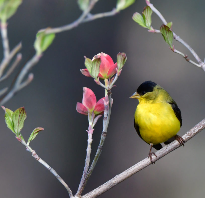 Lesser Goldfinch perched in a pink dogwood tree