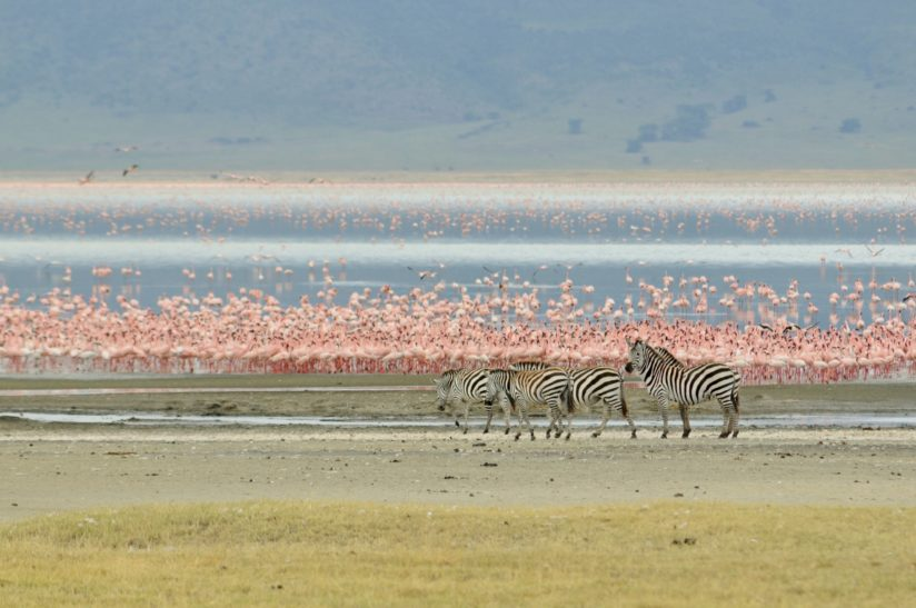 Pink flamingos and zebras