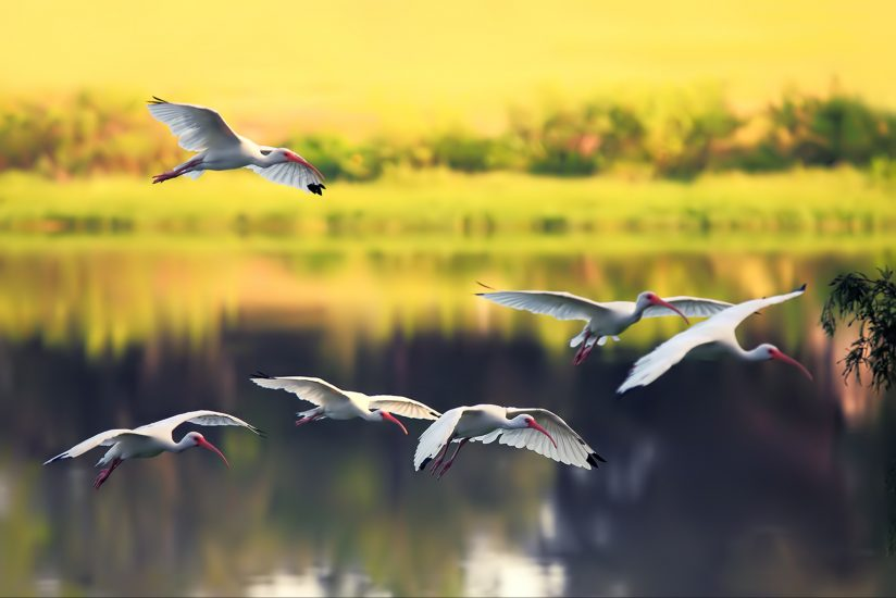 White Ibis Fly-in