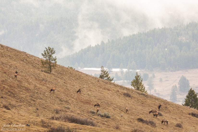 Elk in the Early Morning Fog