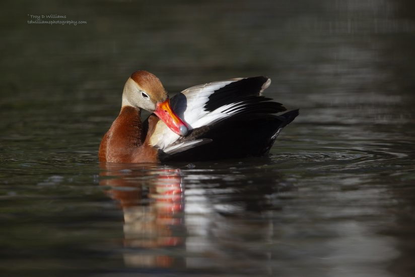 Black-bellied Whistling- Duck