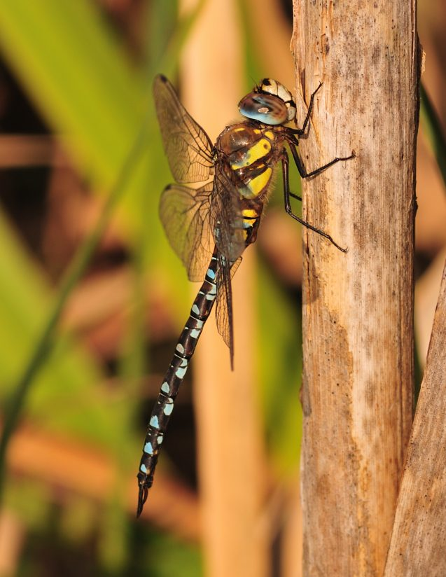 dragonfly   ( male )