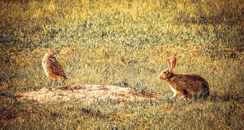 The Owl and the Cottontail