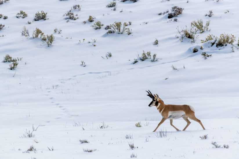 Antelope in First Snow