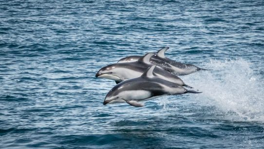 Y Flying Dolphins Flying Dolphins - Outd...
