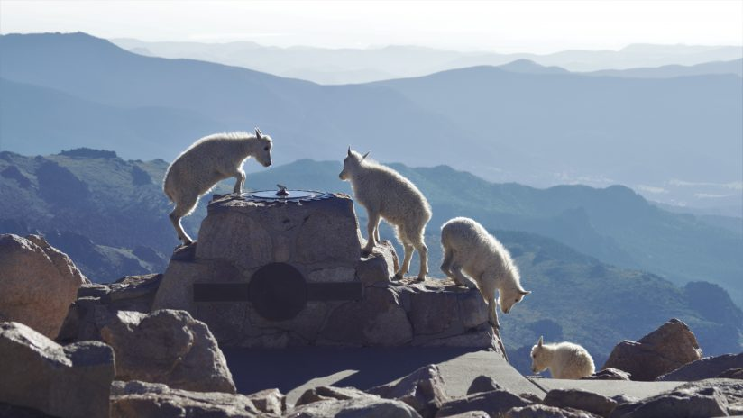 Mount Evans Colorado Rocky Mountain Goat Kids Play Time On Sun Dial Rock