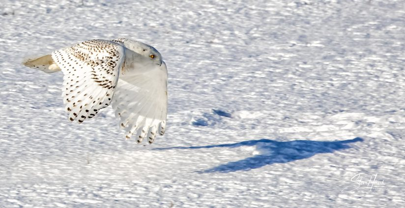 Snowy Owl Visitor