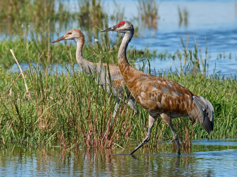Wading Adult and Juvenile Sandhill Cranes