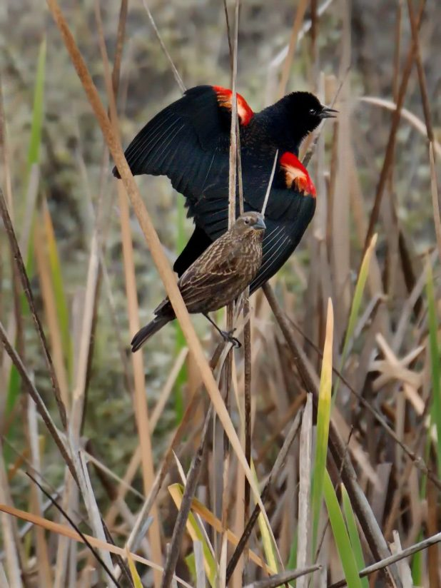 Courting Red-winged Blackbirds