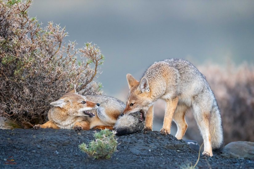 Catching a Fox by the Tail
