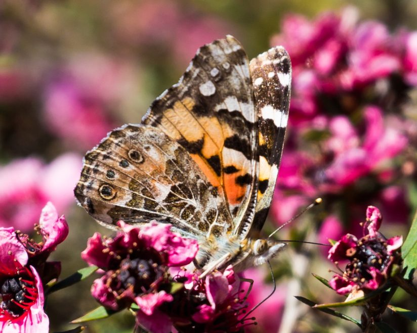 Painted Lady Wing Display