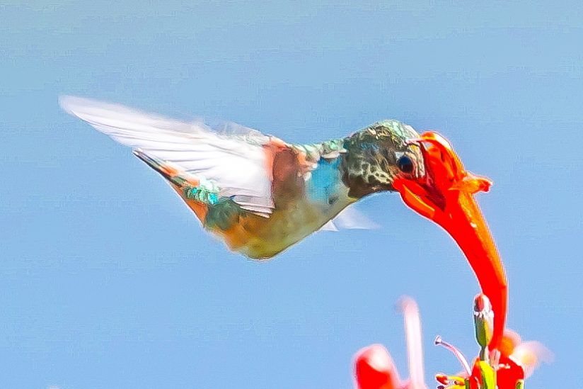 Hummingbird with White Wings