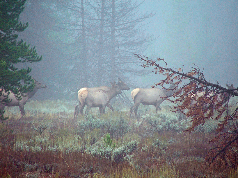 Teton Elk at Dawn