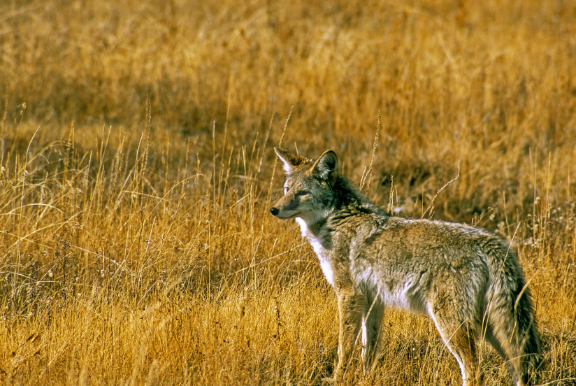 Yellowstone Coyote
