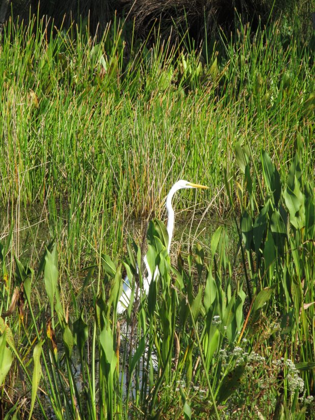 A Great White Heron in a Grassy Pond