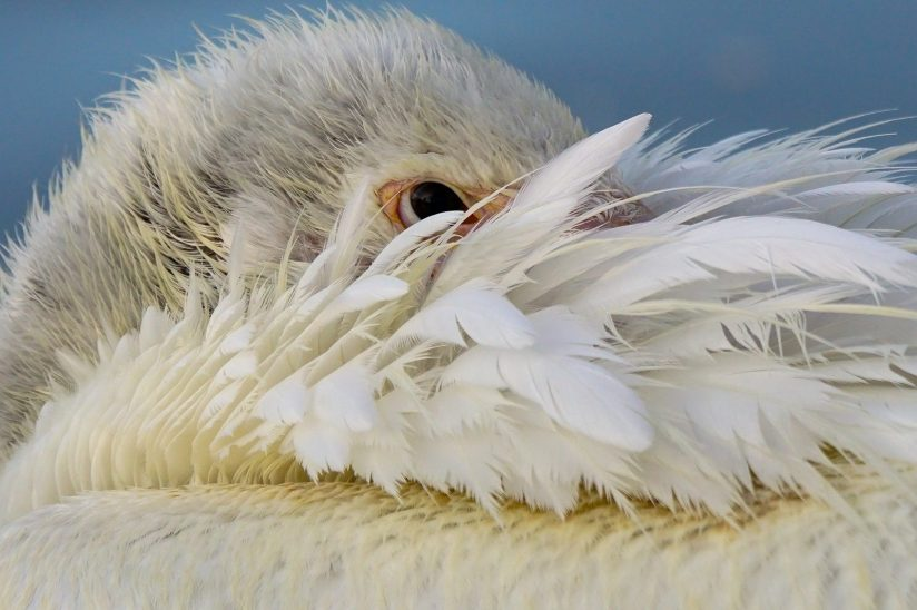 Pelican Feathered