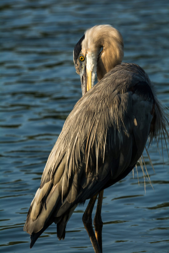 Morning Light on a Great Blue Heron