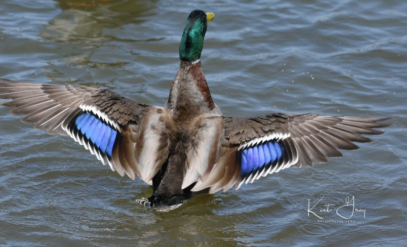 Male Mallard spreading its wings
