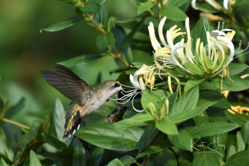 Hummingbird and Honeysuckle