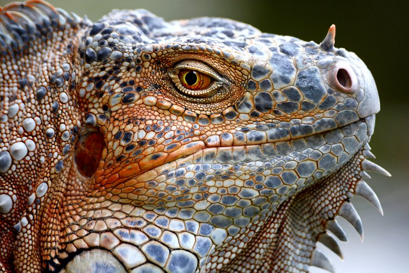 Orange Iguana Portrait