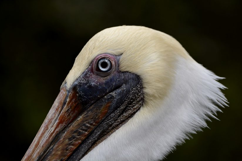 Brown Pelican Face
