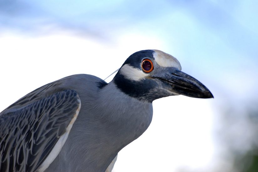 Yellow-crowned Night-Heron Perched