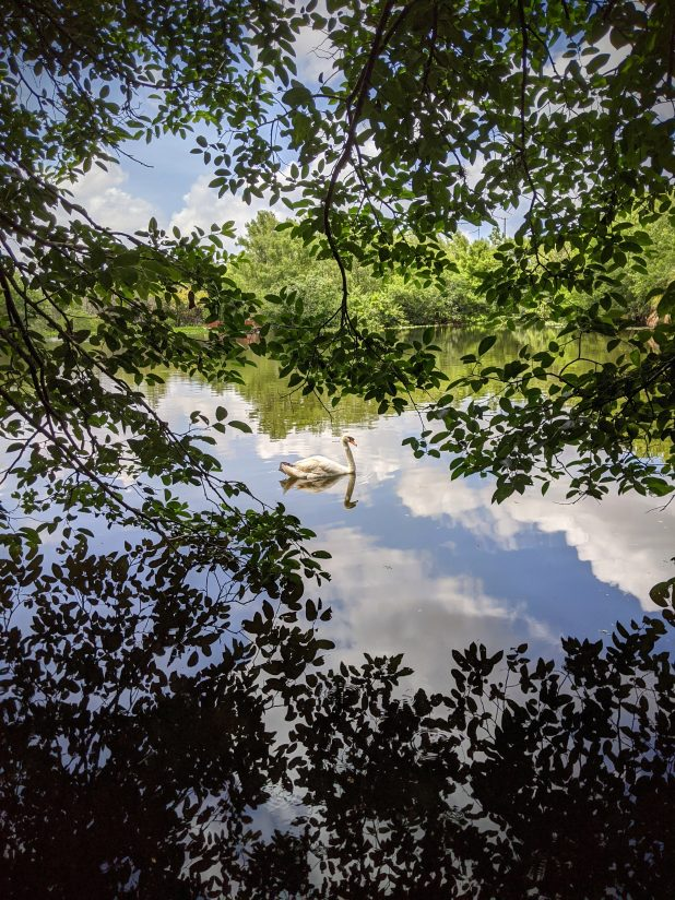 Swan In The Clouds