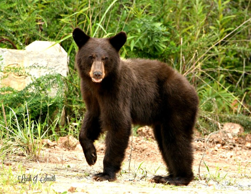 Black Bear of Arkansas